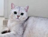 white Scottish pristine purebred cat - 196380389