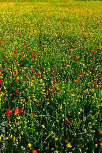Fotobehang Klaprozen spring field red poppies