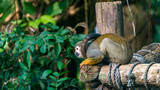 Beautiful squirrel monkey sitting on wood