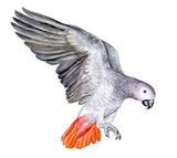 Flying parrot Jaco on a white background. Red-tailed Jaco. Watercolor. Illustration. Template. Handmade. Close-up. Clip art.
