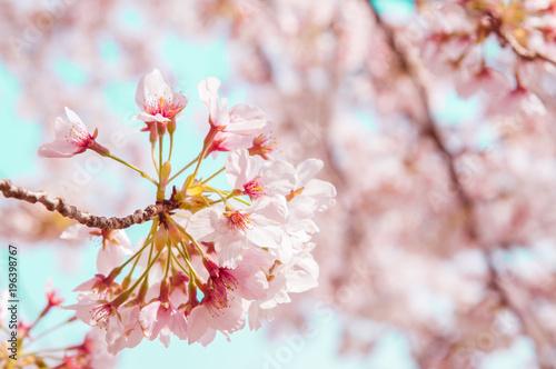 Deurstickers Lichtroze Sakura in Cherry blossom.Japan