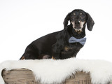 Wiener dog wearing a bow. The dog sits on an antique wooden box. Image taken in a studio. - 196399336