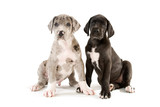 Zwei Doggenwelpen sitzen nebeneinander isoliert auf weißem Grund