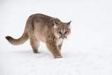 Female Cougar (Puma concolor) Walks Forward