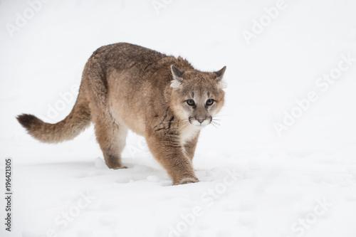 Fotobehang Kat Female Cougar (Puma concolor) Walks Forward