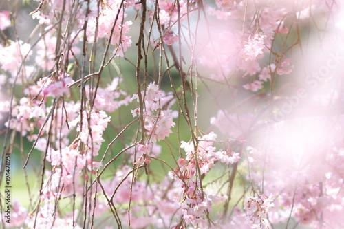 Papiers peints Kyoto 桜_京都の鴨川の桜_半木の道_4月中旬ごろの満開の桜_お花見_しだれ桜