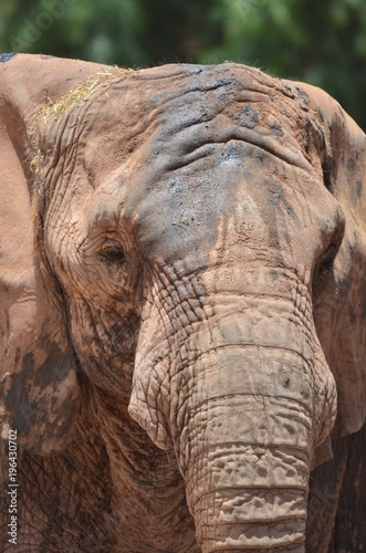 Wall mural elefante
