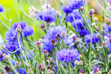 Beautiful cornflowers meadow close up