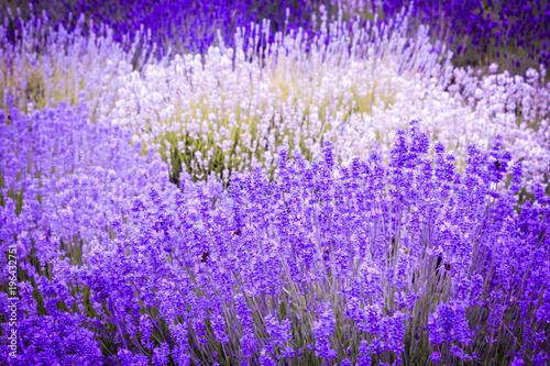 Fototapeta Lavender fields in England, UK