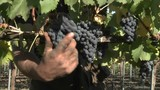Hand picking red wine grapes during harvest in Chile. - 196434559