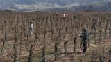 Field workers prune dormant vines in a California vineyard. - 196441505