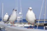 港に群れるユリカモメ - 196448380