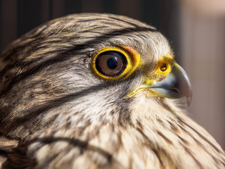 Close up Bird Portrait Saker Falcon, Falco cherrug, Common Kestrel, captured in cage.