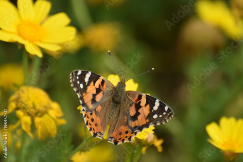 Lato motyl Cypr