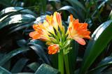 Clivia miniata orange red flower with green