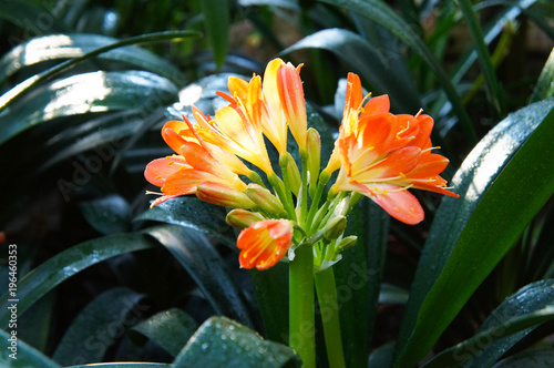 Clivia miniata pomarańczowy czerwony kwiat z zielenią
