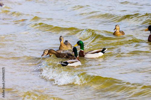 wild drake and ducks sailing along the river