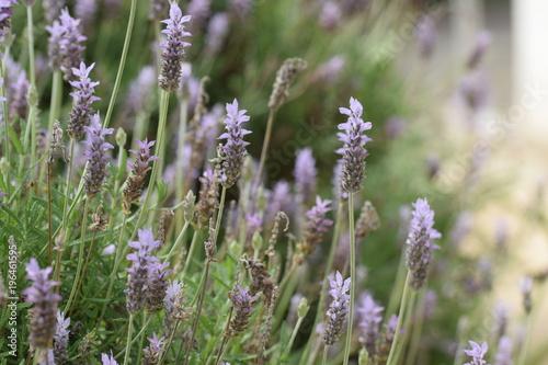 Fotobehang Lavendel Lavender flower Cyprus