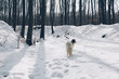 Winter forest and Borzoi dog