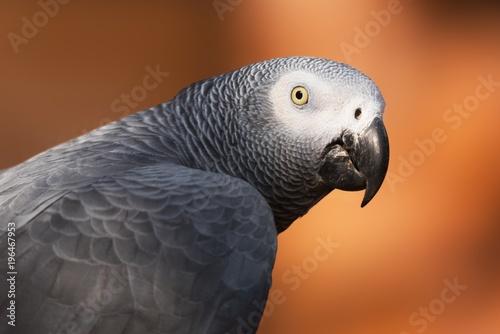 Plexiglas Papegaai African grey parrot close up