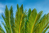 Leaves and branches of a green tropical palm tree - 196478170