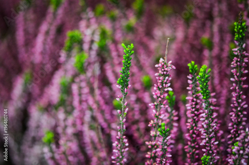 Fotobehang Lavendel summer flowers close up view