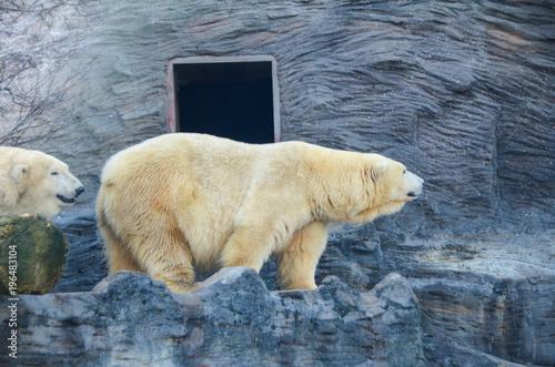 Aluminium Ijsbeer Oso polar adulto