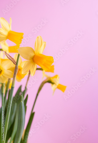 Yellow daffodils on pink background and copy space on the right. Easter greeting background.