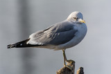 Sea gull on a branch