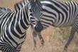 Zèbre du Serengeti