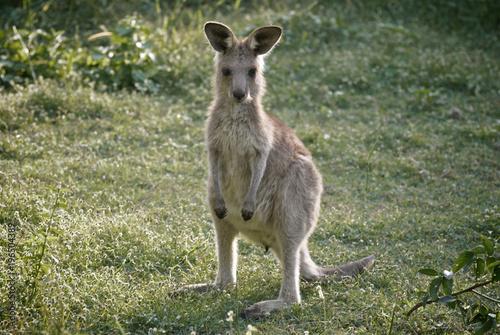 Plexiglas Kangoeroe Cute little kangaroo