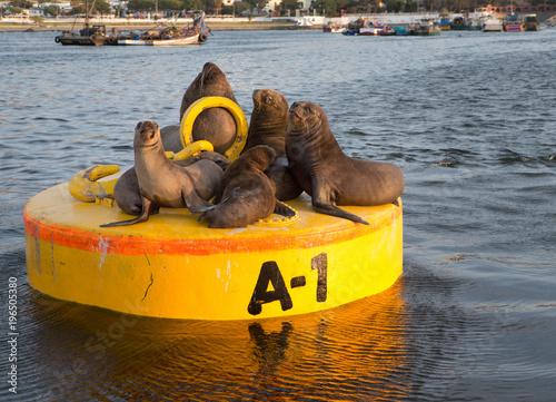 Sealions na boja. Port of Ilo. Wybrzeże Peru.