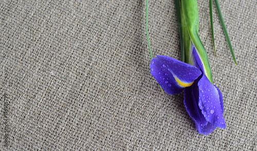 Fotobehang Iris Closeup of fresh Iris flower on sackcloth background. Spring concept. space for text. water drops on Iris flower.