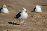 Seagulls - 196506160