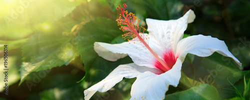 Fototapeta White Hibiscus Flower isolated on green background.