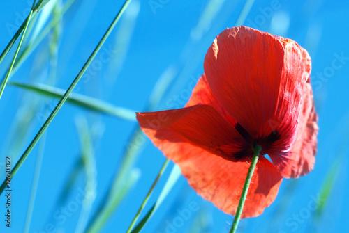 Staande foto Klaprozen Red poppy seed against the blue sky