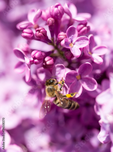 Fridge magnet The bee flies on the flowers of the lilac