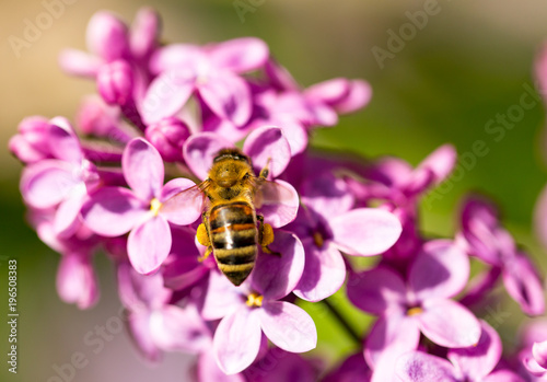 Fotobehang Bee The bee flies on the flowers of the lilac