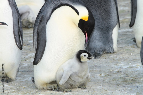 Fotobehang Pinguin Emperor penguin (aptenodytes forsteri)with a chick in the colony of the Haswell, East Antarctica
