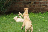 Greyhound puppy playing with an adult cat - 196520741