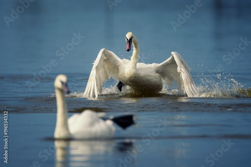 Fotobehang Zwaan Mute swan, Cygnus olor, two bird frolics in the water