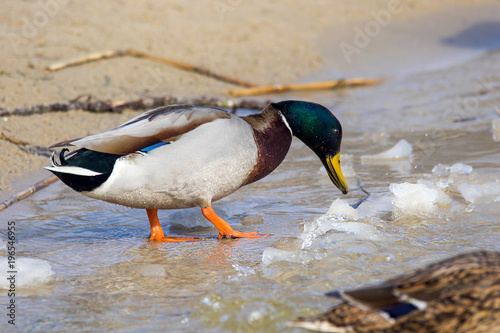 wild duck on the river bank with ice