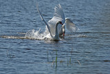 swan and a giant white bird - flying beauty