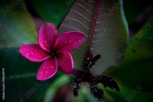 Plexiglas Plumeria Purple Plumeria in the Rain
