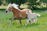 Haflinger horses mare with foal running side by side across a meadow - 196551780
