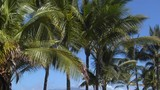 Pan across beautiful palms which line a tropical beach in Hawaii. - 196554357