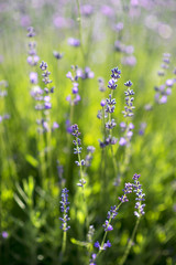 Meadow of lavender, selective focus