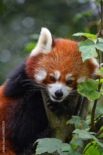 Plexiglas Panda Close up portrait of red panda on tree