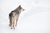 Rear view of grey wolf standing in winter snow day
