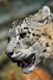 Fototapeta Close up side portrait of snow leopard